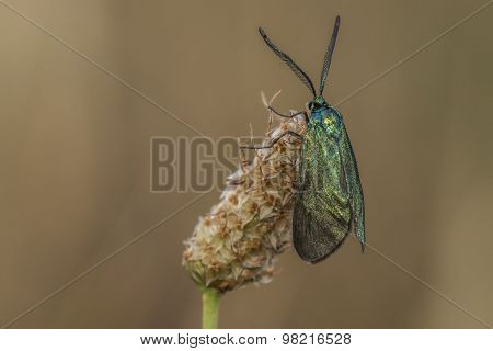 Green forester (adscita Statices)