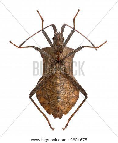 Dock Bug, Coreus Marginatus, In Front Of White Background