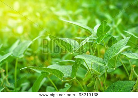 Green Soybean Crops In Field