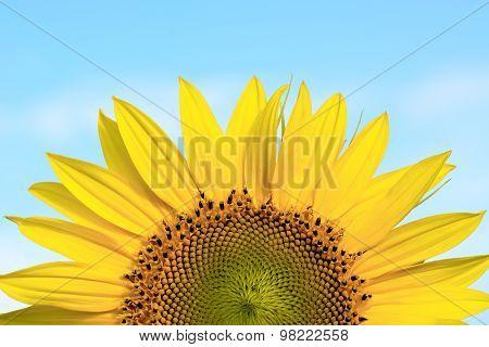 Sunflower Against The Blue Sky.