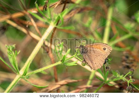 Aphantopus Hyperanthus Butterfly On A Leaf