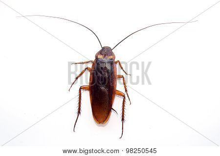 single back cockroach isolate on white background