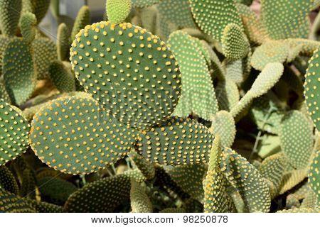 Arid plants - CACTACEAE , Opuntia microdasys