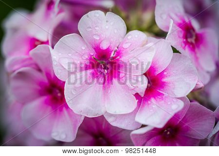 Violet And White Phlox After Rain With Big Waterdrops