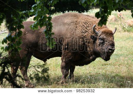 European bison (Bison bonasus), also known as the wisent or the European wood bison. Wild life animal.