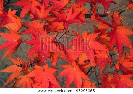Momiji leaves in fall colors, Japan