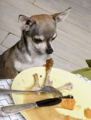Chihuahua looking at leftover food on plate at dinner table poster
