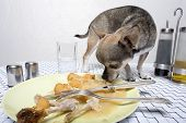 Chihuahua looking at food on plate at dinner table poster