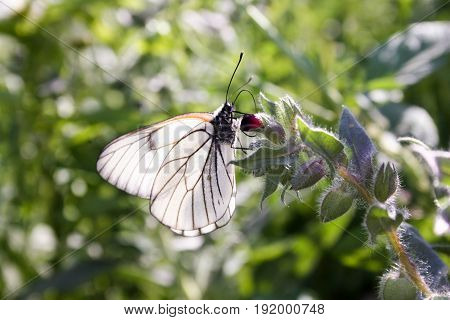 The Butterfly Is White With Transparent Wiry Wings