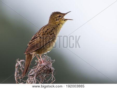 Grasshopper Warbler Bird Singing its Reeling Song