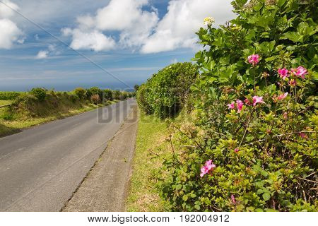Hortensia Grows On The Island Of Sao Miguel Everywhere