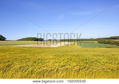Golden Barley Crop