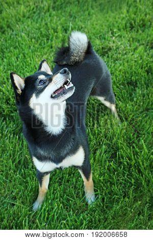 Black Shiba Inu Dog On Green Grass