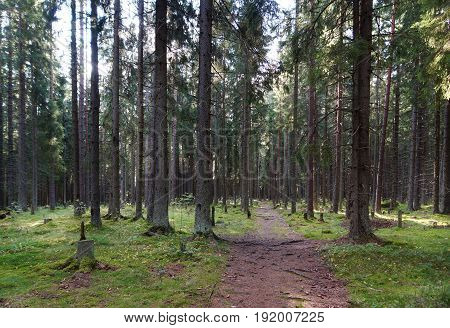 The Path In The Spruce Forest, Leaving In The Thicket Past The Big Trees, Green Hummocks And Stumps,