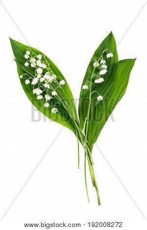 Medicinal plant lily of the valley (convallaria majalis) on white background. Used in pharmaceutics for production of cardiotonic drugs as well in phytotherapy aromatherapy. Plant is poisonous