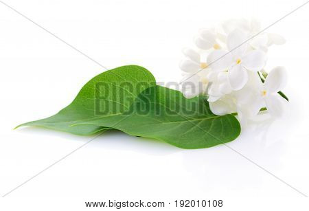 Blooming white lilac flower isolated on white background.