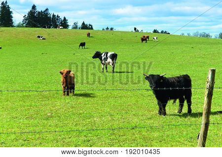 Scottish highland cows graze in the field near the forest