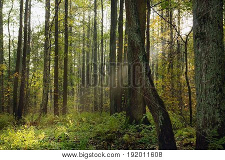 Morning Rays Of The Sun Make Their Way Through The Branches Of Trees In The Forest