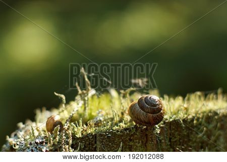 Two Snails Sleep In The Forest On Moss In The Summer In The Early Morning