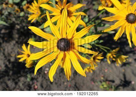 Rudbeckia fulgida Goldsturm (Black Eyed Susan) golden-orange flowers.