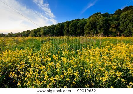 Field With Yellow Cinder Flowers, Trees And Cloudy Sky Background