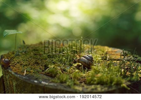 Two Snails Crawl Along A Large Stump, Covered With Moss In The Forest In The Early Morning, In The S