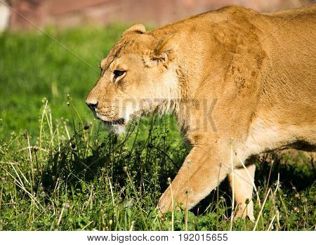 Lioness on the grass in the wild .