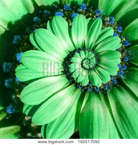 Green camomile daisy flower spiral abstract fractal effect pattern background. Green surreal flower spiral abstract pattern fractal. Incredible flower pattern round circle spirally background