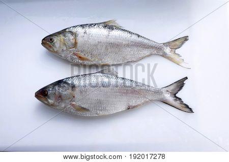 tenualosa macrura (terubuk)