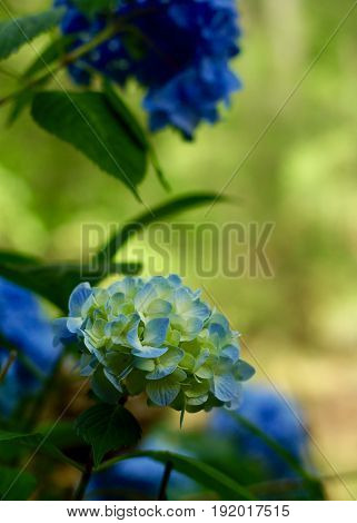 Variegated blue, yellow hydrangea in full bloom against green background in spring time