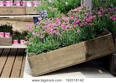 Wooden Box Of Pink Dwarf Carnations On Display