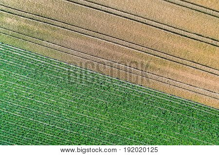 Potatoes and wheat in a field in the Bas-Rhin department of France.