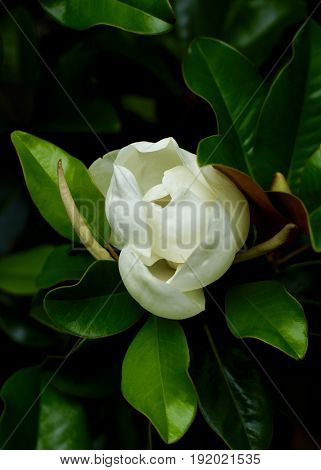 Single Velvety White Magnolia blossom, about to burst, not fully open, against waxy dark green leaves