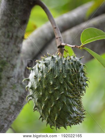 vertical shot of soursop hanging from branch