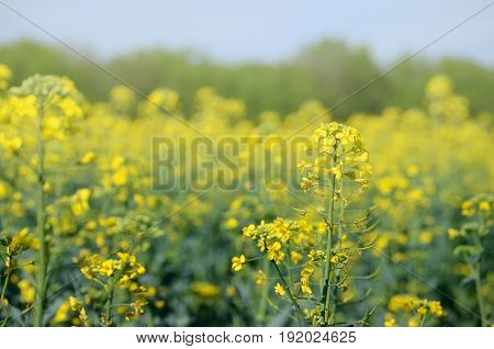 Rape Bassica napus plant field. Agricultural summertime background