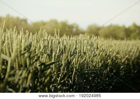 Rye Brassica napus plant field. Agricultural background