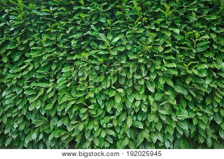 Natural green leaves wall background. Flat lay. Nature concept.