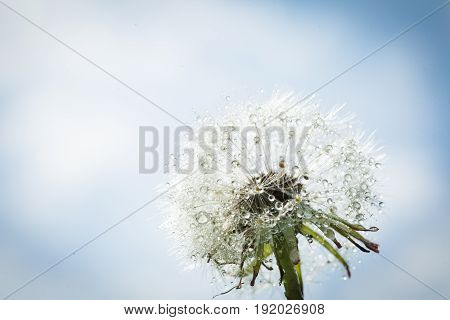 Beautiful dandelion with drops of water against the sky, close-up