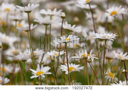 Side view of a field of beautiful daisies with the main focus on a few daisies and with space for text. Selective focus.