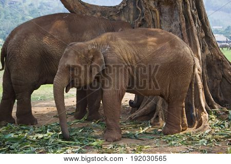 A juvenile Asian Elephant in Chiang Mai Thailand.