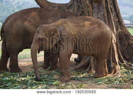 A juvenile Asian Elephant in Chiang Mai Thailand.