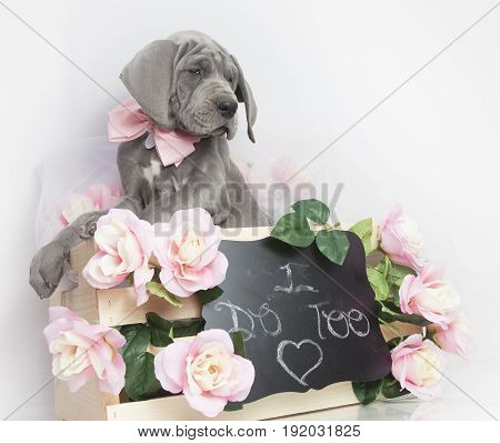 Purebred Gray Great Dane puppy with a wedding day message