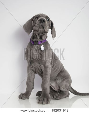 Purebred Great Dane puppy on a white background that is sitting