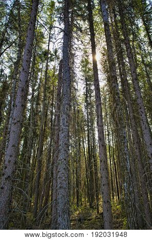 Thick forest in Saskatchwan Canada hiding most of the sunlight