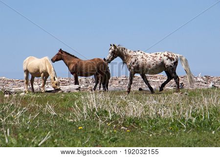 A herd of wild ponies grazing at Pollet's Cove in Maine.