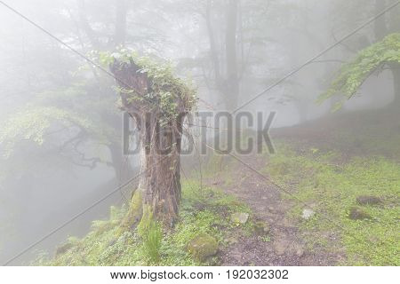 Mysterious Forest In A Very Misty Morning.