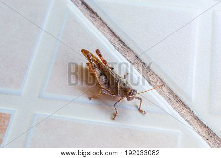 Closeup to Brown Grasshopper on Tile Floor [Caelifera]