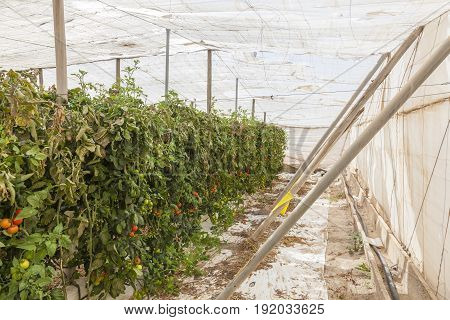 Rows of tomato plants growing inside of an industrial greenhouse