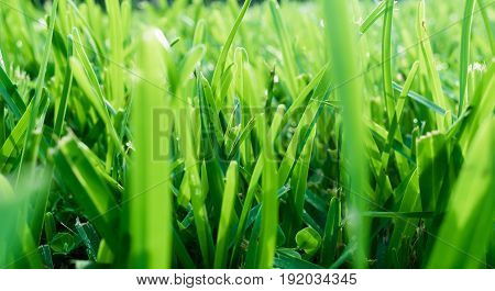 textured background - close up of green grass in the morning light