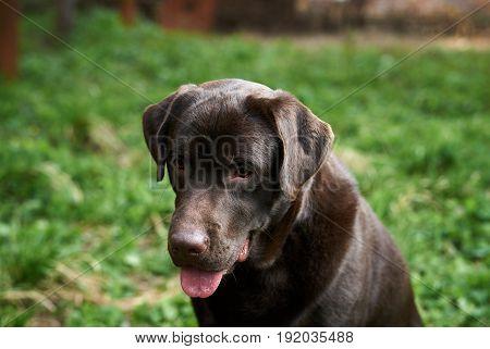 Dog, dog labrador, the dog stuck out his tongue.